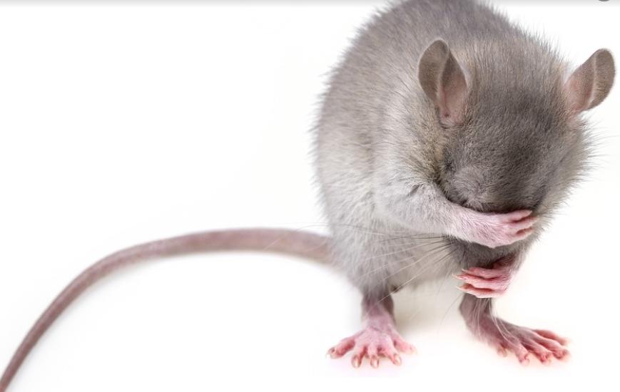 Hur man gör sig av med råttor: Tricks och tips